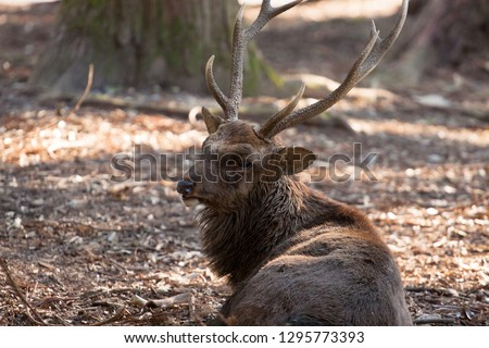 Big brown adult deer with horns lying on the ground in the dark forest in summer day #1295773393