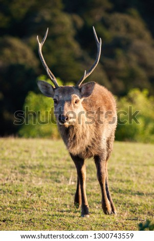 Big brown adult deer with horns standing on the ground in summer day #1300743559