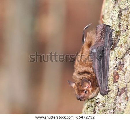 Big Brown Bat (Eptesicus fuscus).  A Big Brown Bat on the trunk of a woodland maple tree