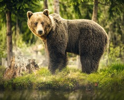 Big brown bear in nature or in forest, wildlife, meeting with bear, animal in nature.