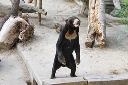 Big brown bear in the zoo. Bear in captivity.