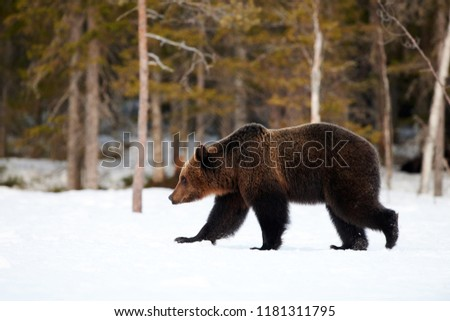 Big brown bear photographed in late winter while walking in snow in the Finnish taiga