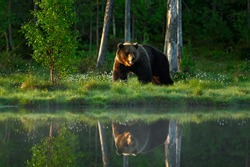 Big brown bear walking around lake in the morning light. Dangerous animal in the forest with reflection in the water. Wildlife scene from Europe.