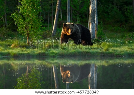 Shutterstock Big brown bear walking around lake in the morning sun. Dangerous animal in the forest. Wildlife scene from Europe. Brown bird in the nature habitat with water, Russia. Bear with reflection in water.