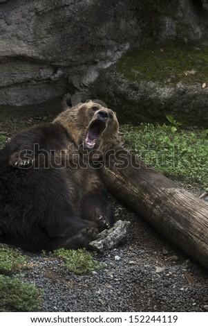Big brown bear yawns while resting