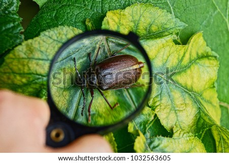 Big brown beetle on a sheet under a magnifying glass in his hand