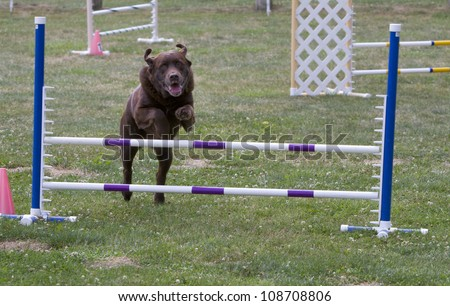 Big Brown Dog at Agility Trial