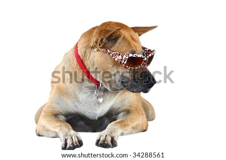 Big, brown dog with collar wearing sunglasses and looking to his left isolated on a white background. Image by Kevin Hellon.