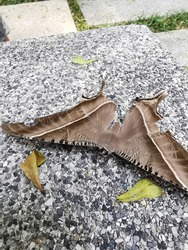 Big brown moth  on concrete background