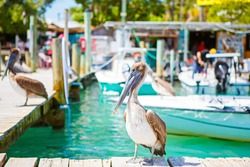 Big brown pelicans in port of Islamorada, Florida Keys. Waiting for fish at Robbie's Marina