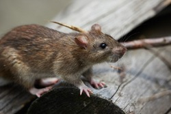 Big brown rat on the wooden branch