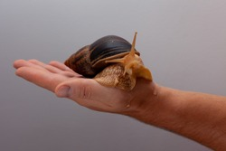 Big brown snail Achatina on hand. The African snail, which is grown at home as a pet, and also used in cometology. Snail side view on an isolated background. Funny animal.
