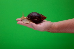 Big brown snail Achatina on hand. The African snail, which is grown at home as a pet, and also used in cometology. Snail side view on an isolated green background. Funny animal. Place for text.