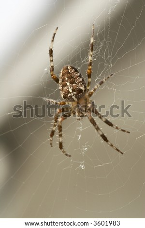 big brown spider in cobweb - big red-brown four spot orb weaver (Araneus quadratus) is a common orb weaver spider found in Europe and Asia.