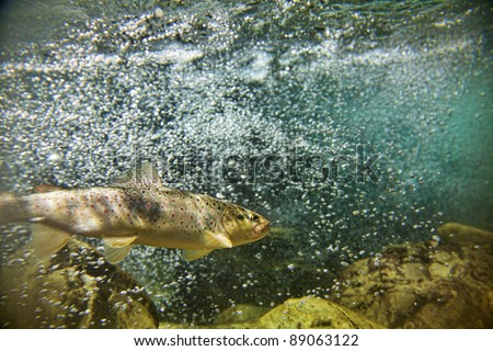 Big brown trout swimming in blue green   water in stream or lake