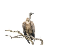 Big brown white-backed vulture or griffon bird only down feathers on the head and neck is sitting on dead dried tree branch and looking isolated on white background