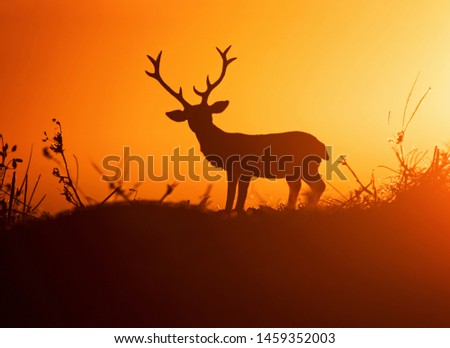 big buck with large antlers against the sunset with a nice silhouette #1459352003