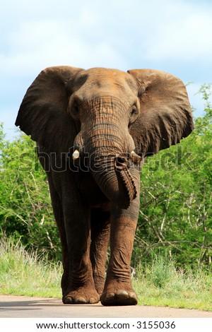 Big bull elephant on road charging