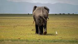 Big bull elephant walking in the grasslands of Amboseli National Park in Kenya