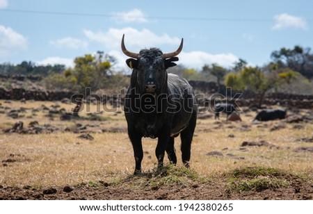 Big bull with big horns in spain Foto stock ©