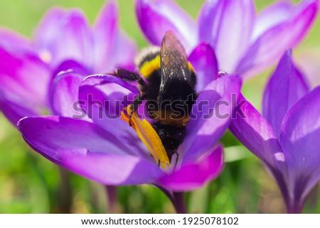 Big bumblebee pollinates a crocus flower. Stock photo ©