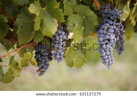 Big bunches of red wine grapes hang from a lush green vine.