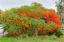 Big bush of the Rhus typhina, also known as sumac with bright varicolored autumn leaves in park