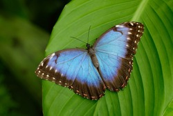 Big Butterfly Blue Morpho, Morpho peleides, sitting on green leaves, Costa Rica. Detail of beautiful colorful insect.