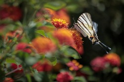 Big butterfly on lantana flowers - perfect macro details