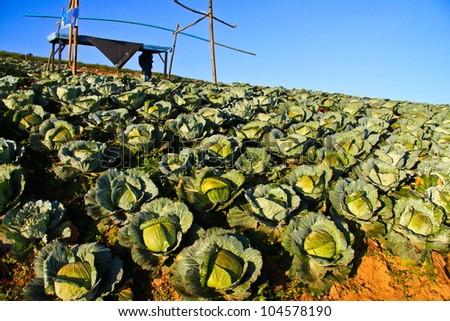 Big Cabbage farm on the mountain, thailand