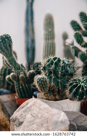 Big cactus in the pots. Funny cactus for home decoration. Fluffy cactus with long needles. Beautiful interior object. Cactus between stones. Cacti in a flower pot.