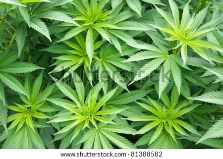 big cannabis marijuana plant detail