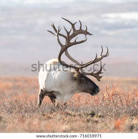 big caribou in alaska tundra