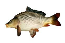 big carp isolated on white background