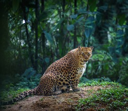 Big cat in natural environment. Pregnant jaguar or leopard female looks at camera with forest in the background