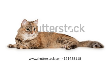 Big cat red, black and white color lying, isolated on white background