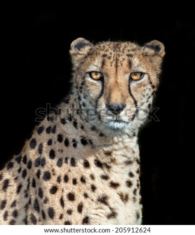 big cat the cheetah from africa. fastest animal
