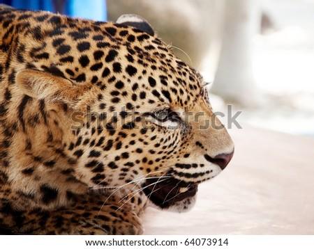 Big cat. Wild African Leopard