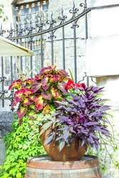Big ceramic vase with grow various plants. Mixed potted flowers on summer city street. Ipomoea batatas Blackie dark purple leaves, Ivy Hedera Helix and Coleus in pot near fence of house