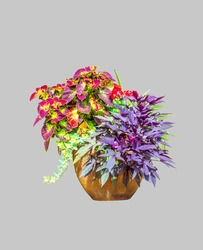 Big ceramic vase with growing various plants isolated on white background. Mixed potted flowers growth outdoor. Coleus, Chlorophytum, Ipomoea batatas, Geranium flower in large pot cut out for design
