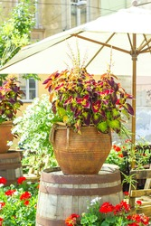Big ceramic vase with growing various plants. Mixed potted flowers on summer town street. Coleus and white Scaevolas aemula flower in large pot on terrace, selective focus