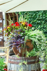Big ceramic vase with growing various plants. Mixed potted flowers on town street. Coleus, Chlorophytum, Ipomoea batatas, white Scaevolas aemula, red Geranium flower in large pot