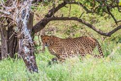 Big Cheetah in Kruger park, South Africa