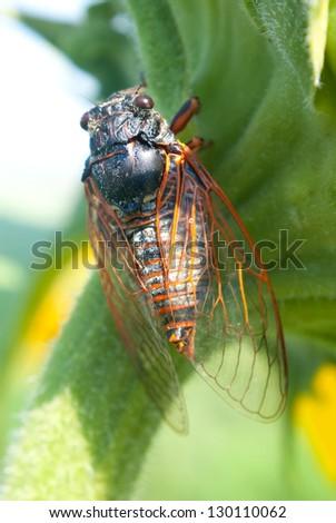big cicada sitting on a leaf
