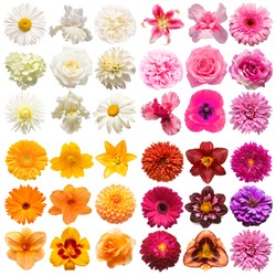 Big collection of various head flowers purple, white, orange and pink isolated on white background. Perfectly retouched, full depth of field on the photo. Top view, flat lay