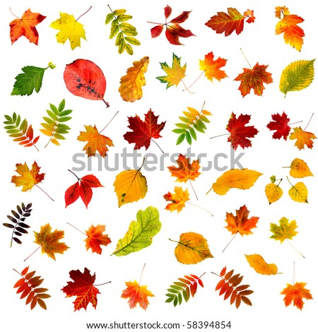 big collection set of beautiful colored autumn leaves close up isolated on white background
