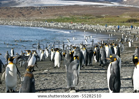 Big colony of king penguins in beach in South Georgia