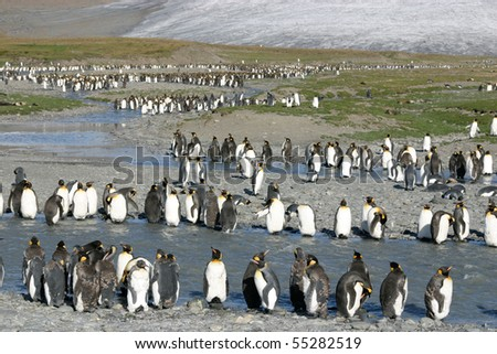 Big colony of king penguins in beach in South Georgia, young ones