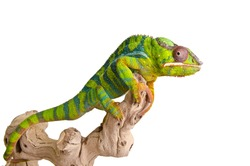 Big colorful chameleon on over white background.