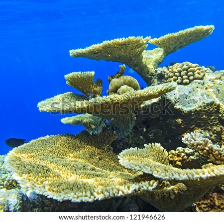 Big coral and small fishes in the Indian Ocean, Maldives